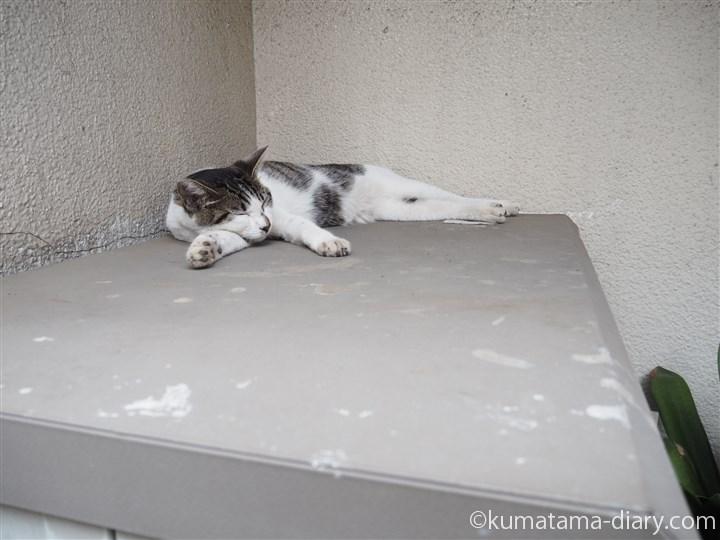 川越のキジトラ白猫さん発見
