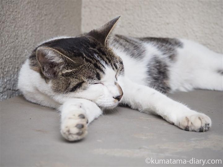 川越のキジトラ白猫さん