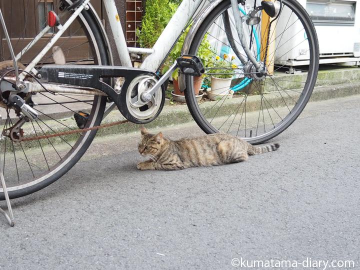 自転車の下のキジトラ猫さん
