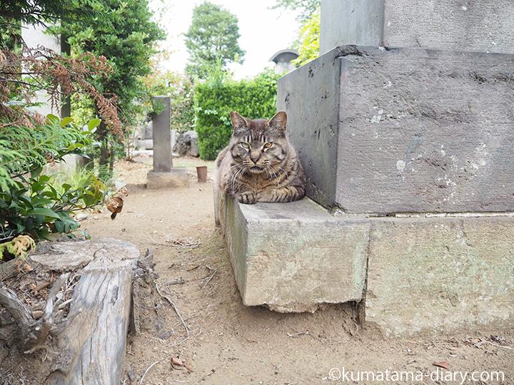 キジトラ猫さん発見