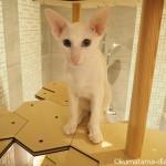 「猫とステキに暮らすおとなのねこ展2」でオリエンタルショートヘアに遭遇