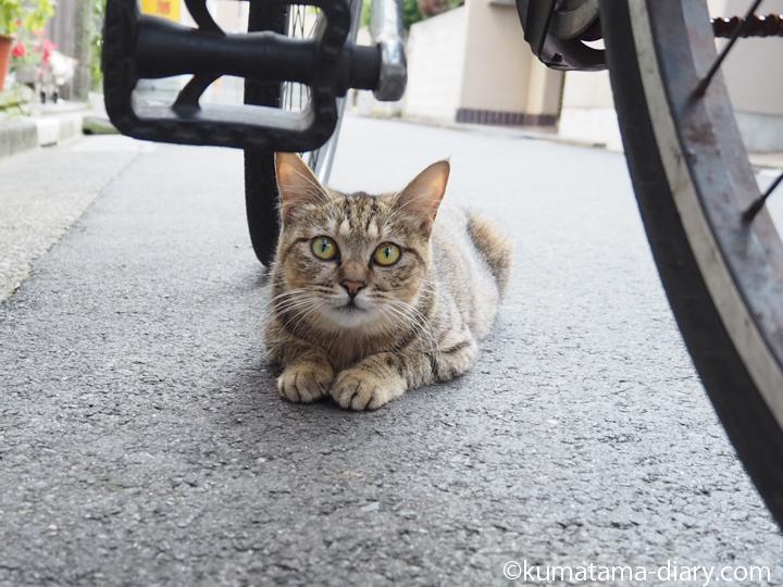 自転車の下のキジトラ猫さん顔
