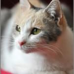 人気の女優三毛猫「ドロップ」の演技が光る映画『先生と迷い猫』のDVD