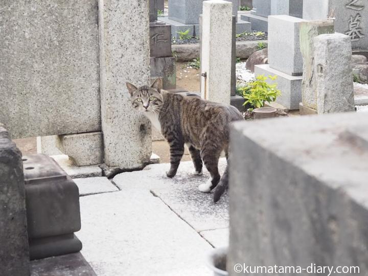 警戒するキジトラ白猫さん