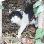 青山の白黒ハチワレ猫さん