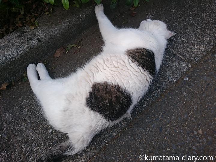 3横になるキジトラ白猫さん