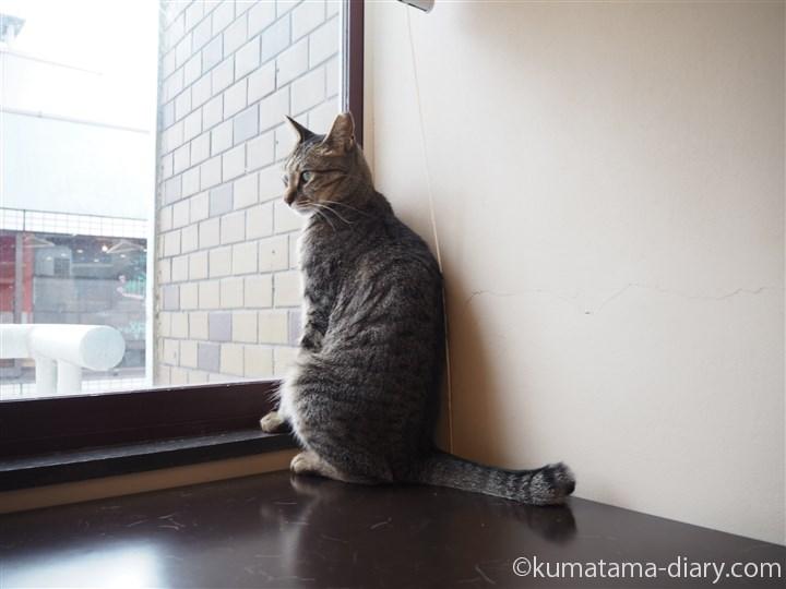 窓際のキジトラ猫さん
