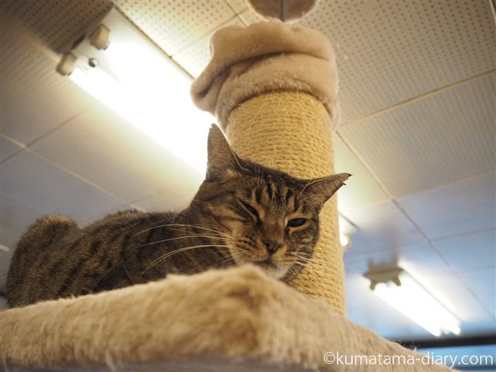 キャットタワーのキジトラ猫さん