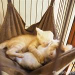 川越市にある保護猫カフェ「ねこかつ」の子猫さんたち