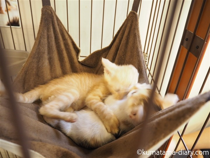 じゃれあう2匹の子猫1