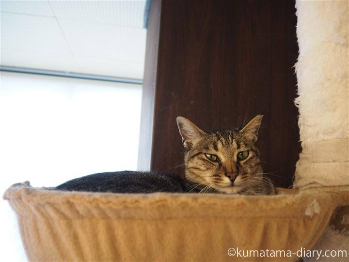 ハンモックのキジトラ猫さん