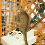 川越市にある保護猫カフェ「ねこかつ」のなぎちゃん