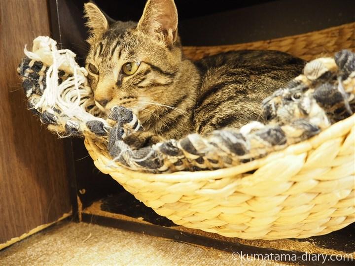 かごの中のキジトラ猫さん