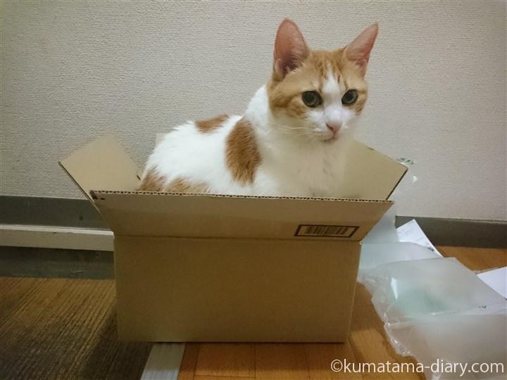 段ボールに入る猫