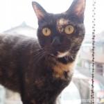 狭山市の保護猫カフェ「funnyCat(ファニーキャット)」のサビ猫さん