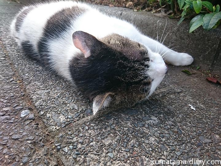 4キジトラ白猫さん