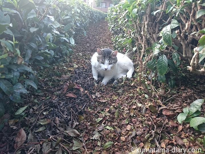 1こっちに来てくれるキジトラ白猫さん