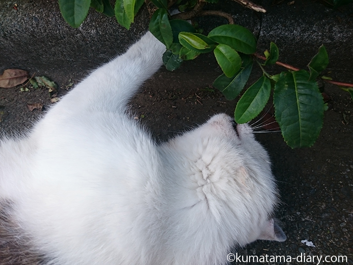 5キジトラ白猫さんとお茶の葉