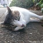 L型側溝で横になるキジトラ白猫さん
