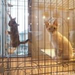 狭山市の保護猫カフェ「funnyCat(ファニーキャット)」の子猫さんたち