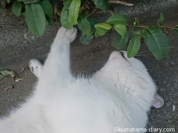 8キジトラ白猫さん