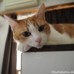 キッチンカウンターの上で寝る猫