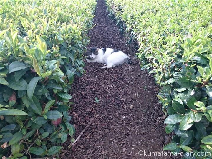 茶畑のキジトラ白猫さん
