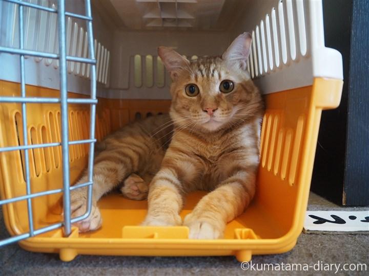 キャリーケースの中の茶トラ猫さん