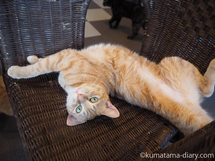 籐椅子の上の茶トラ猫さんひねり