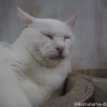 りんご猫専門の保護猫カフェ「ネコリパブリック東京中野店」で一番大きな白猫さん