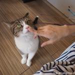 狭山市の保護猫カフェ「funnyCat(ファニーキャット)」のピンクの鼻のキジトラ白猫さん