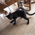 パワフルに遊ぶ狭山市の保護猫カフェ「funnyCat」の子猫さんたち