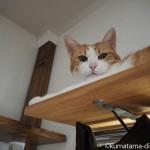 カーテンレールの上でくつろぐ猫