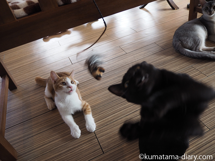 信玄くんと茶トラ白猫さん