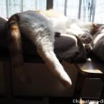 クッションの間に挟まって眠る猫