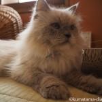 「ネコリパブリック東京御茶ノ水店」の和室でくつろぐふさふさの長毛猫さん