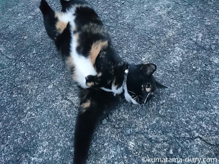 伸びる三毛猫さん