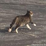 華麗に走り去った駐車場のキジトラ白猫さん