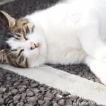 駅の駐輪場のキジトラ白猫さんは目の前でゴロンゴロンしてくれました