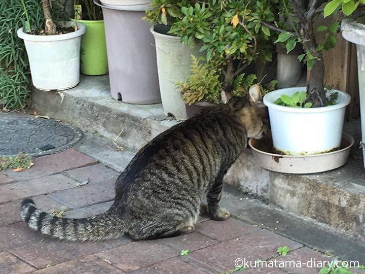 水を飲むキジトラ猫さん