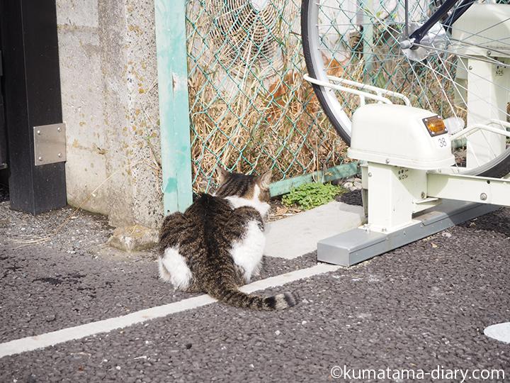 キジトラ白猫さんと茶トラ白猫さん