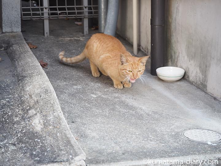 鳴く戸畑の茶トラ猫さん