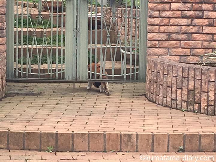 門の中に入った三毛猫さん