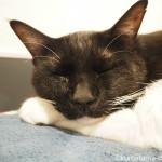 「ネコリパブリック池袋店」の凛々しい黒白猫さん