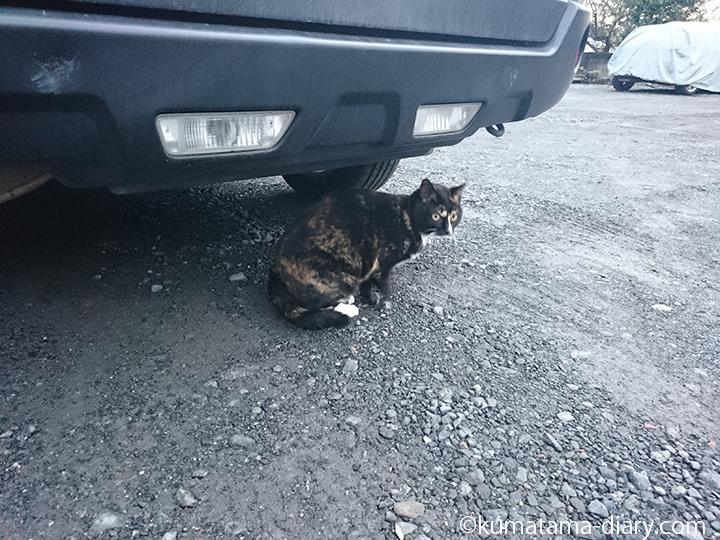三毛猫さん座る