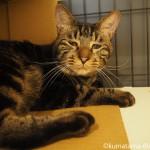 「ネコリパブリック池袋店」の困り顔のキジトラ猫さん