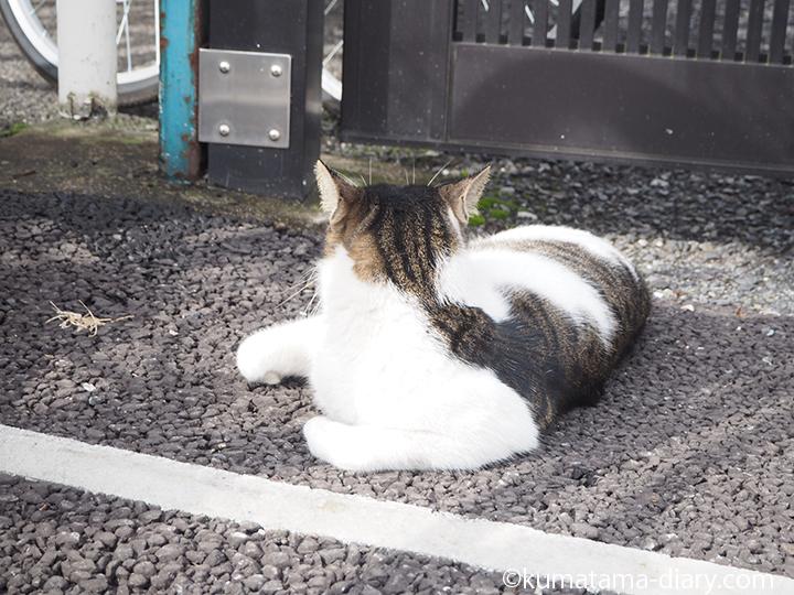 キジトラ白猫さん後ろ姿