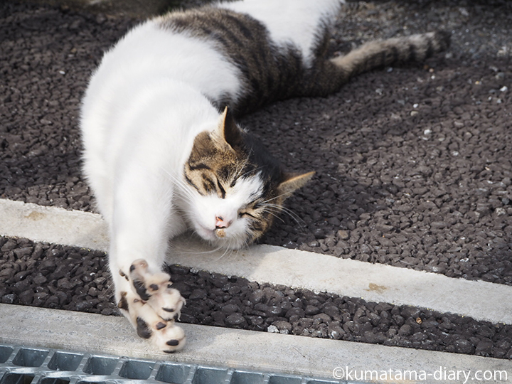 伸びるキジトラ白猫さん
