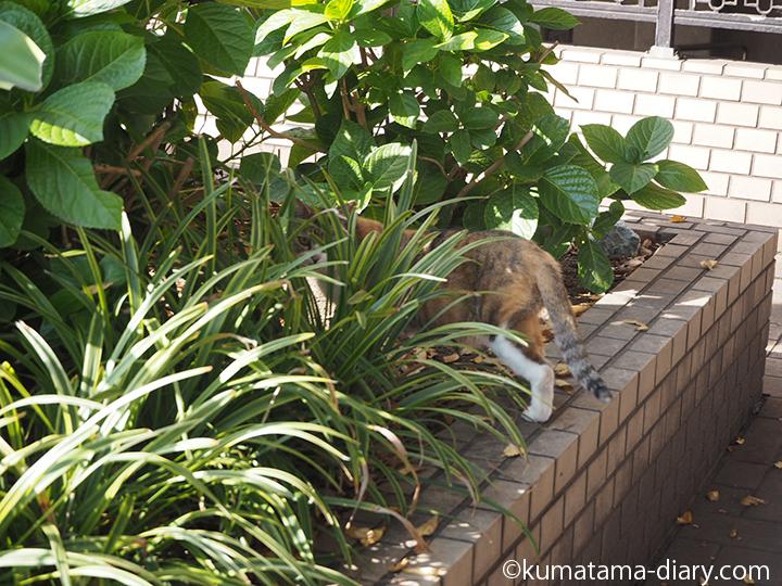 植え込みの中の三毛猫さん