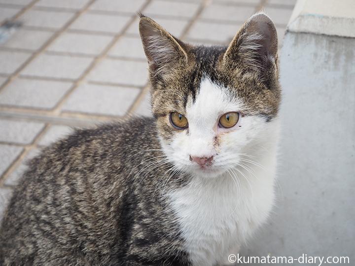 キジトラ白猫さん顔